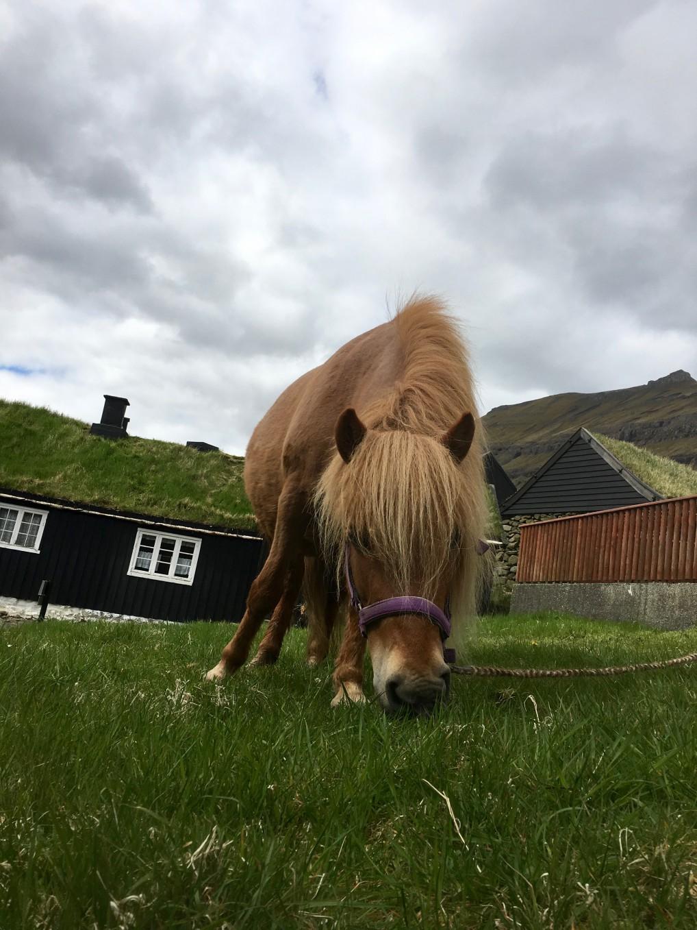 Færisk hest som gresser